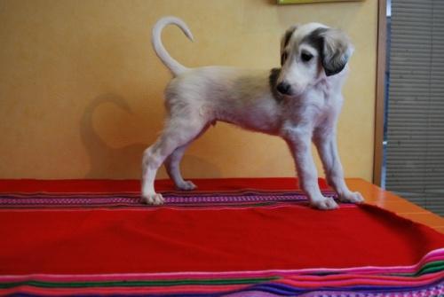 ミックスの子犬(ID:1241311308)の2枚目の写真/更新日:2018-01-09