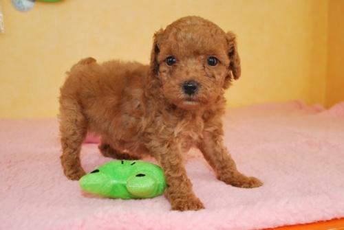 トイプードルの子犬(ID:1241311309)の1枚目の写真/更新日:2018-10-02