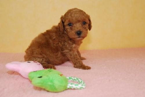 トイプードルの子犬(ID:1241311309)の3枚目の写真/更新日:2018-10-02
