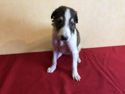 ボルゾイの子犬(ID:1241311311)の3枚目の写真/更新日:2018-01-10