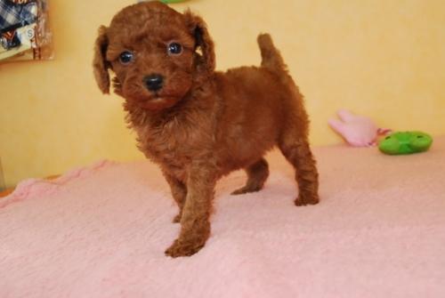 トイプードルの子犬(ID:1241311315)の1枚目の写真/更新日:2018-10-02