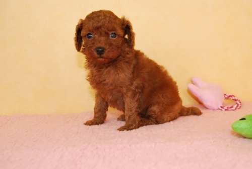 トイプードルの子犬(ID:1241311315)の2枚目の写真/更新日:2018-10-02