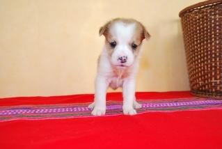 ジャックラッセルテリアの子犬(ID:1241311316)の1枚目の写真/更新日:2018-02-07