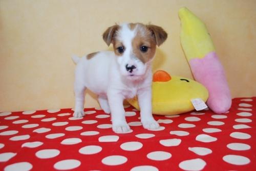 ジャックラッセルテリアの子犬(ID:1241311317)の1枚目の写真/更新日:2018-02-07