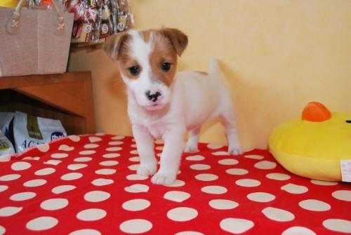ジャックラッセルテリアの子犬(ID:1241311317)の2枚目の写真/更新日:2018-04-23