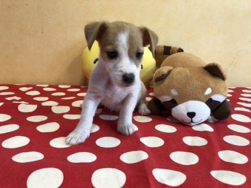 ジャックラッセルテリアの子犬(ID:1241311318)の1枚目の写真/更新日:2021-07-21