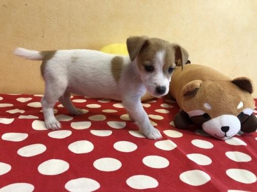 ジャックラッセルテリアの子犬(ID:1241311318)の2枚目の写真/更新日:2021-07-21