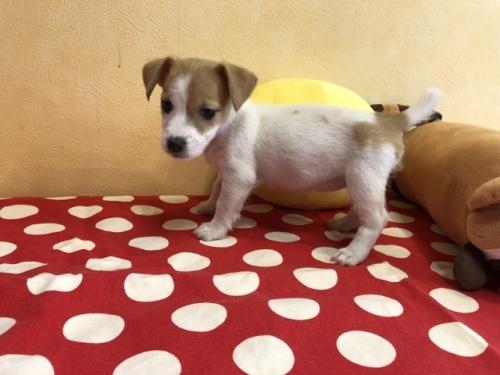 ジャックラッセルテリアの子犬(ID:1241311318)の3枚目の写真/更新日:2021-07-21