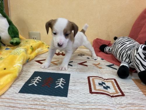 ジャックラッセルテリアの子犬(ID:1241311320)の3枚目の写真/更新日:2020-02-19