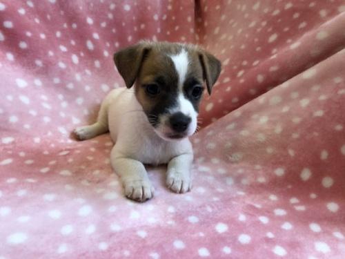 ジャックラッセルテリアの子犬(ID:1241311323)の1枚目の写真/更新日:2018-02-19