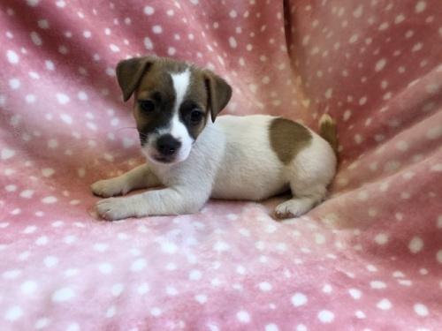 ジャックラッセルテリアの子犬(ID:1241311323)の2枚目の写真/更新日:2021-07-21