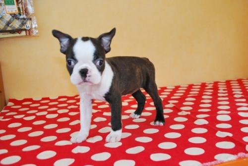 ボストンテリアの子犬(ID:1241311325)の1枚目の写真/更新日:2018-03-11