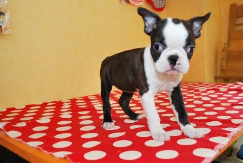 ボストンテリアの子犬(ID:1241311325)の2枚目の写真/更新日:2018-06-11