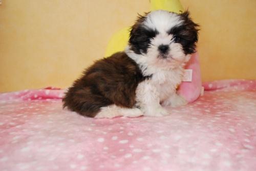シーズーの子犬(ID:1241311326)の1枚目の写真/更新日:2018-03-11