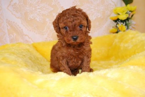 トイプードルの子犬(ID:1241311327)の1枚目の写真/更新日:2018-03-22