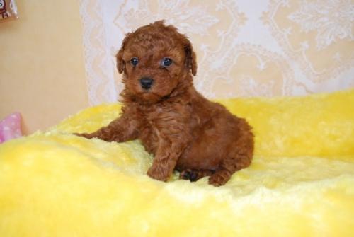 トイプードルの子犬(ID:1241311327)の2枚目の写真/更新日:2018-03-22