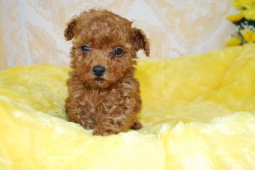 トイプードルの子犬(ID:1241311328)の1枚目の写真/更新日:2018-03-22
