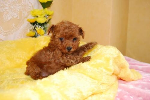 トイプードルの子犬(ID:1241311328)の2枚目の写真/更新日:2018-03-22