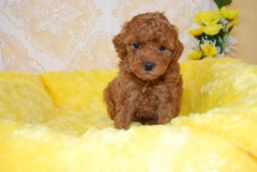トイプードルの子犬(ID:1241311329)の1枚目の写真/更新日:2018-03-22