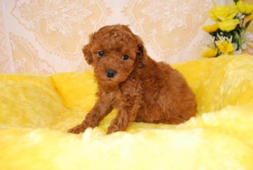 トイプードルの子犬(ID:1241311329)の2枚目の写真/更新日:2018-03-22