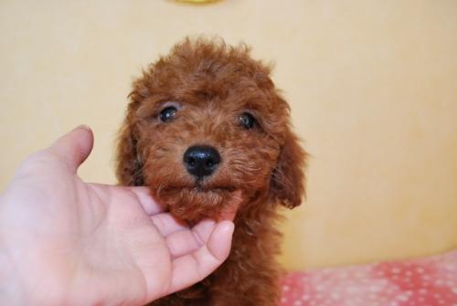 トイプードルの子犬(ID:1241311330)の1枚目の写真/更新日:2018-03-22
