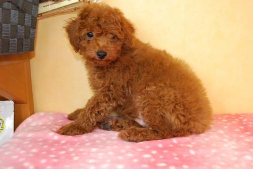 トイプードルの子犬(ID:1241311330)の2枚目の写真/更新日:2018-05-23