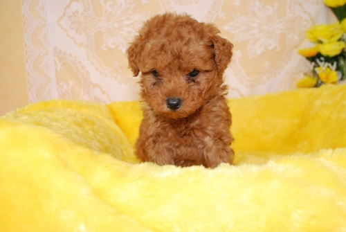 トイプードルの子犬(ID:1241311331)の1枚目の写真/更新日:2018-03-22