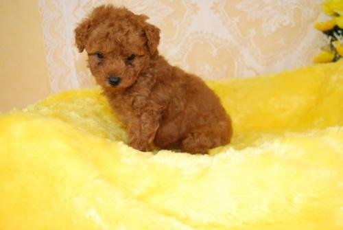 トイプードルの子犬(ID:1241311331)の2枚目の写真/更新日:2018-03-22