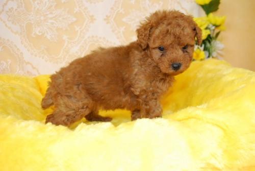 トイプードルの子犬(ID:1241311331)の3枚目の写真/更新日:2018-03-22