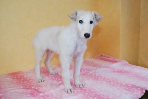 ボルゾイの子犬(ID:1241311332)の1枚目の写真/更新日:2018-04-02