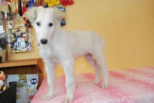 ボルゾイの子犬(ID:1241311332)の2枚目の写真/更新日:2018-04-02