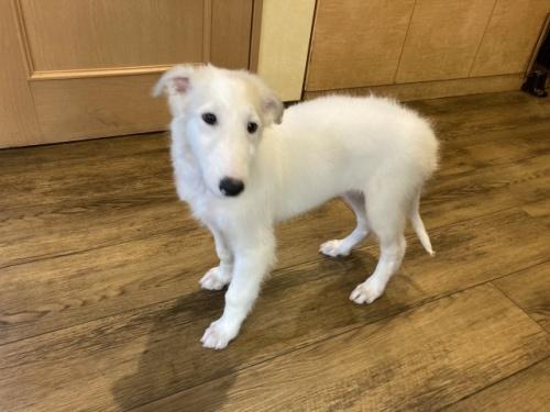 ボルゾイの子犬(ID:1241311333)の3枚目の写真/更新日:2021-08-27