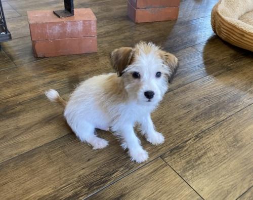 ジャックラッセルテリアの子犬(ID:1241311336)の1枚目の写真/更新日:2018-04-30