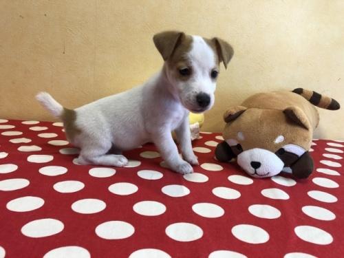 ジャックラッセルテリアの子犬(ID:1241311337)の1枚目の写真/更新日:2021-01-25