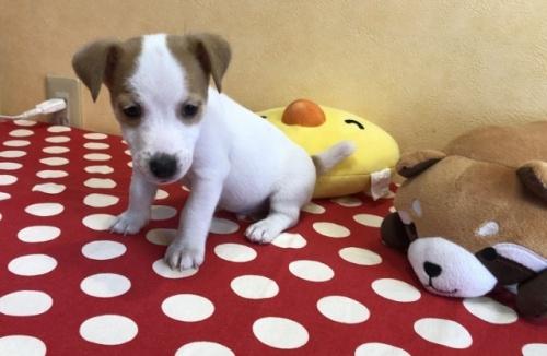 ジャックラッセルテリアの子犬(ID:1241311337)の2枚目の写真/更新日:2021-01-25