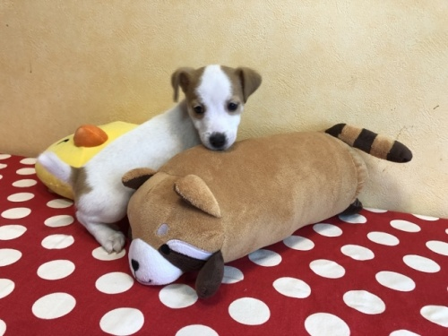 ジャックラッセルテリアの子犬(ID:1241311337)の3枚目の写真/更新日:2021-01-25