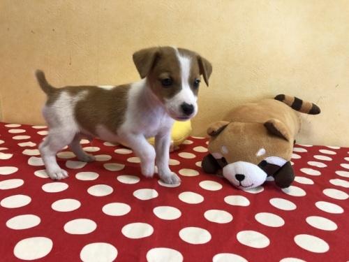 ジャックラッセルテリアの子犬(ID:1241311339)の1枚目の写真/更新日:2018-04-30