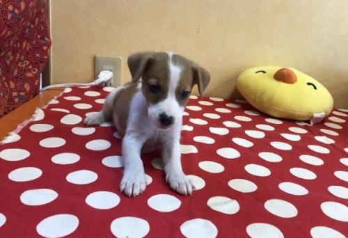 ジャックラッセルテリアの子犬(ID:1241311339)の2枚目の写真/更新日:2018-04-30