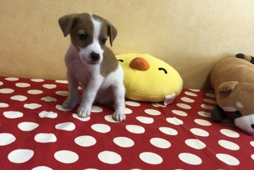 ジャックラッセルテリアの子犬(ID:1241311339)の3枚目の写真/更新日:2018-04-30