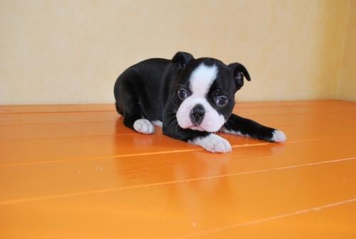 ボストンテリアの子犬(ID:1241311340)の1枚目の写真/更新日:2018-05-04