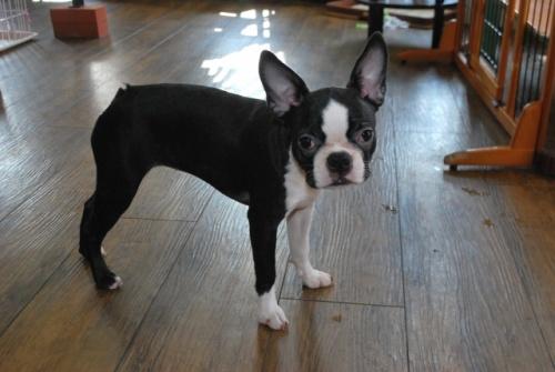 ボストンテリアの子犬(ID:1241311341)の2枚目の写真/更新日:2018-05-04