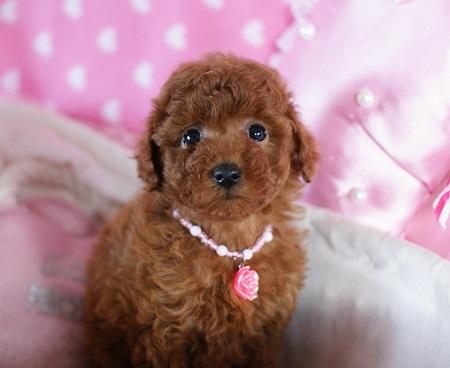 トイプードルの子犬(ID:1241511074)の1枚目の写真/更新日:2017-01-17