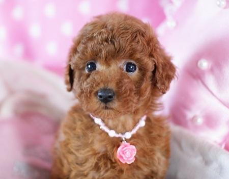トイプードルの子犬(ID:1241511074)の3枚目の写真/更新日:2017-01-17