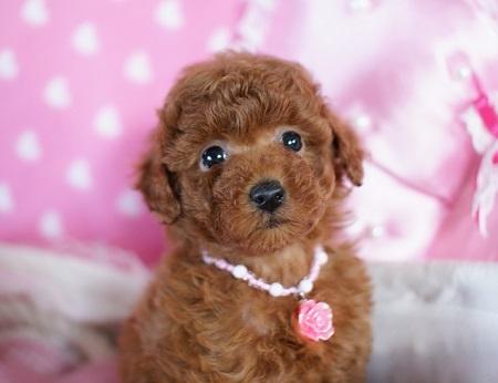 トイプードルの子犬(ID:1241511074)の4枚目の写真/更新日:2017-01-17