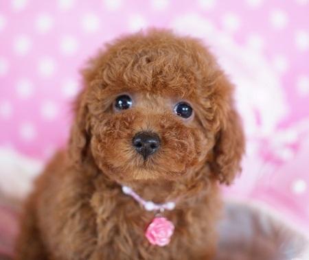 トイプードルの子犬(ID:1241511075)の1枚目の写真/更新日:2017-01-18