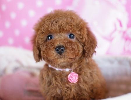 トイプードルの子犬(ID:1241511075)の2枚目の写真/更新日:2017-01-18