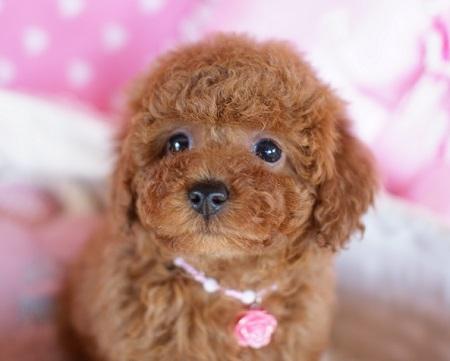 トイプードルの子犬(ID:1241511075)の3枚目の写真/更新日:2017-01-18