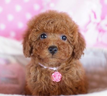 トイプードルの子犬(ID:1241511075)の4枚目の写真/更新日:2017-01-18