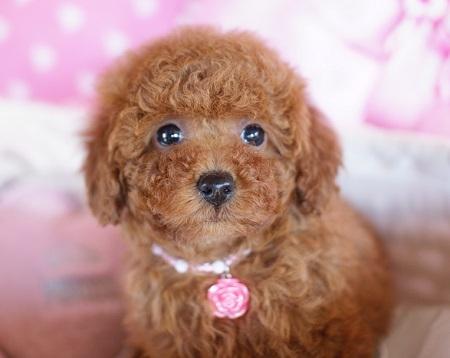 トイプードルの子犬(ID:1241511075)の5枚目の写真/更新日:2017-01-18