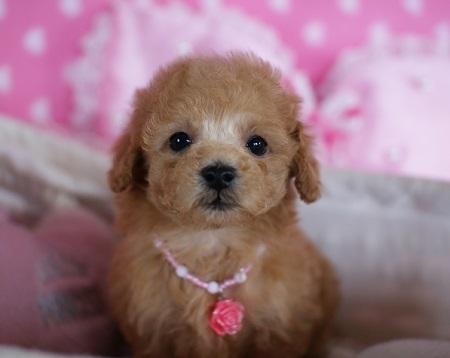 トイプードルの子犬(ID:1241511076)の1枚目の写真/更新日:2017-01-17